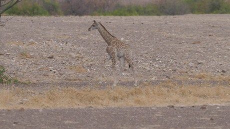 Little giraffe looking for food
