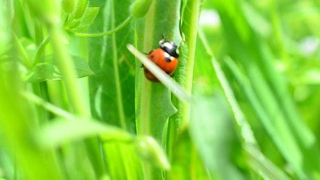 Little ladybug walking through grass
