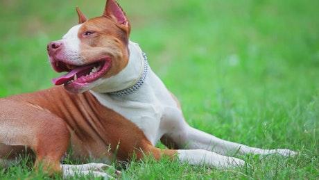 Little pit bull dog terrier