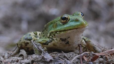 Little static green frog breathing