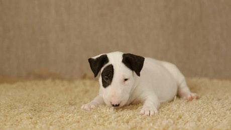 Little white puppy Bull Terrier