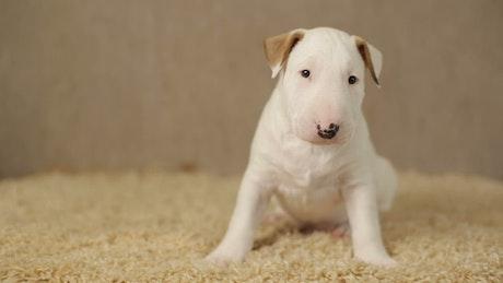 Little white puppy looking around