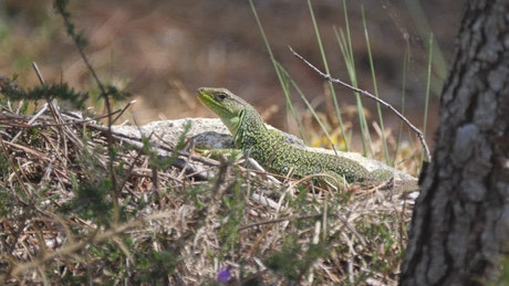 Lizard looking across the grass