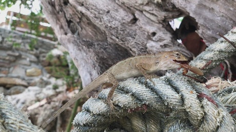 Lizard on a rope