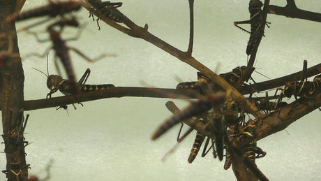 Locusts perched on branches