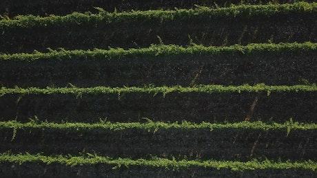 Long vineyard lines