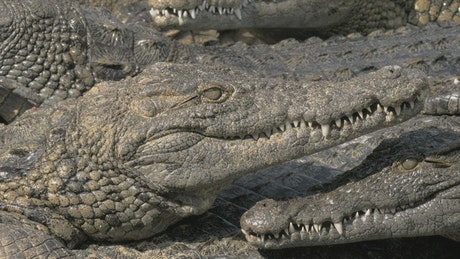 Lots of Crocodiles on a river bank