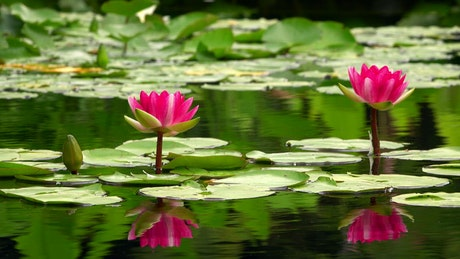 Lotus flowers and ducks on a calm lake