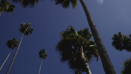 Low shot of tall palm trees and blue sky