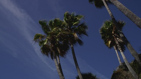 Low view of some palm trees moved by the wind