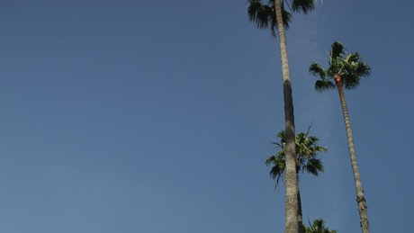Low view of two palm trees under clear blue sky