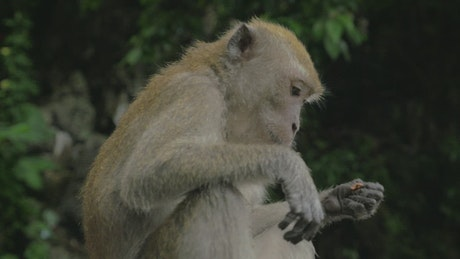 Macaque eating in Malaysia