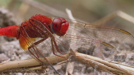 Macro close up of a red dragonfly