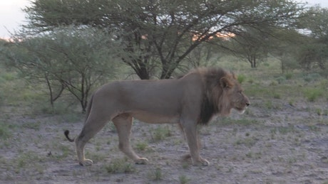 Male lion walking in the savanna
