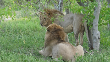 Male lions resting on the grass