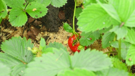 Man harvesting a strawberry