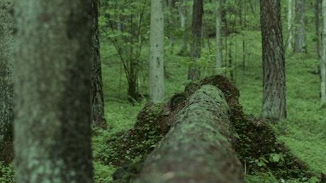 Man in the woods crosses a fallen tree