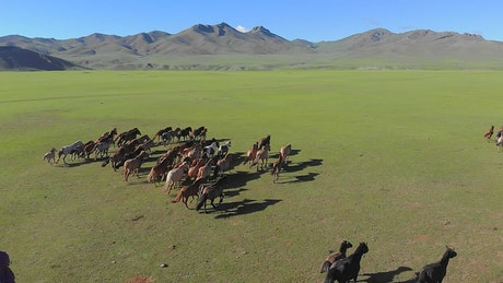 Man on horseback trying to catch free wild horses on a plain
