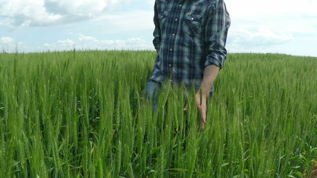 Man walking on a green wheat field