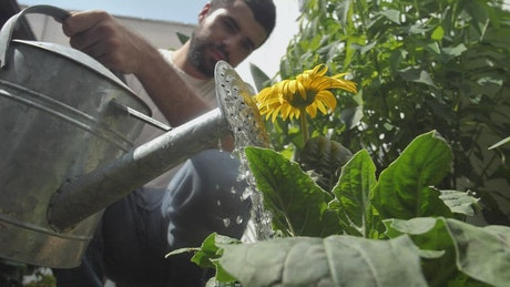 Man watering a sunflower in his garden
