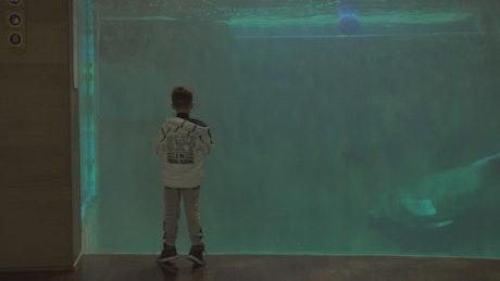 Manatee swimming in an Aquarium