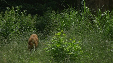 Maned wolf in the high grass