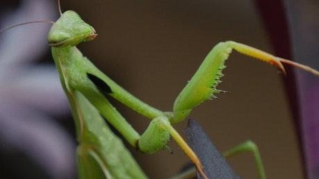 Mantis religiosa closeup