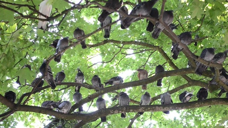 Many pigeons perched on the branches of a tree