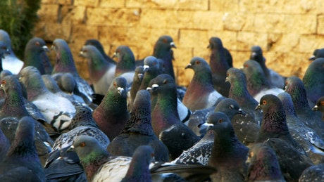 Many pigeons together on the street, slow motion