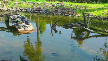 Many turtles in a pond in nature