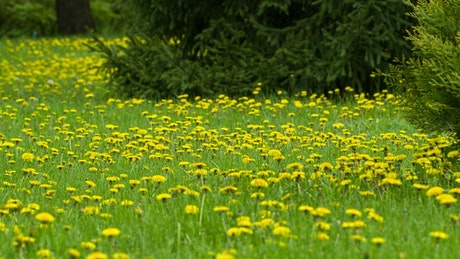Meadow full of small yellow dandelions