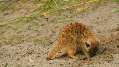 Meerkat diggin a hole in the sand