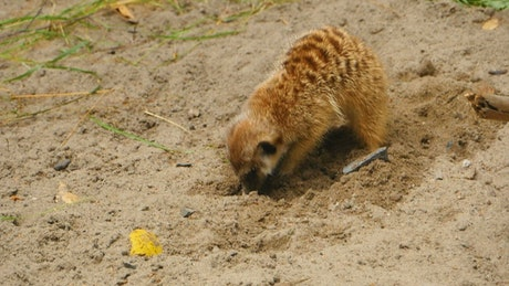 Meerkat digging a hole in the sand