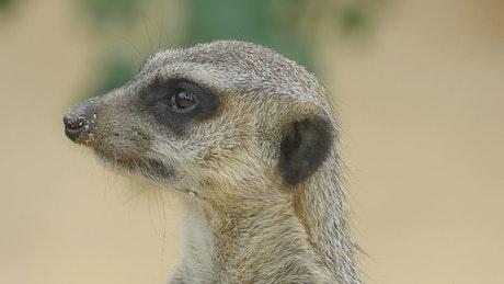 Meerkat head closeup