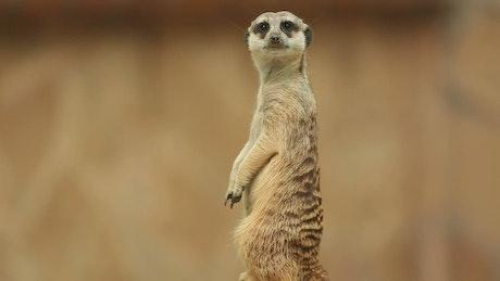 Meerkat watching to the distance