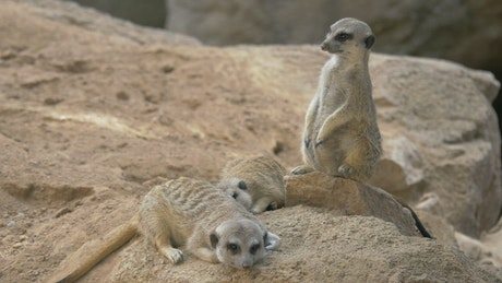 Meerkats laying on a rock