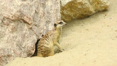 Meerkats playing in the sand