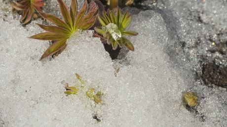 Melting snow and flowers