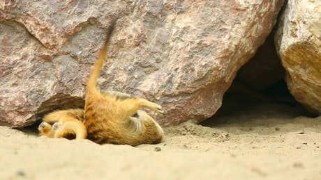 Merkats playing under the rocks