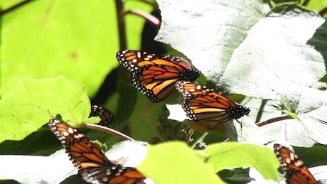 Monarch butterflies on leaves