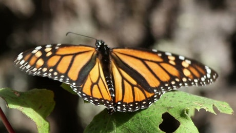Monarch butterfly takes flight