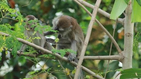 Monkey climbing down a tree