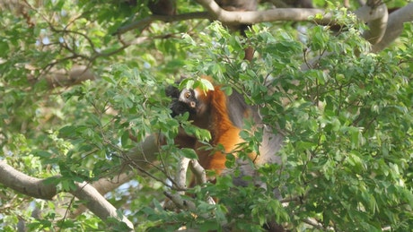 Monkey climbing tree branches