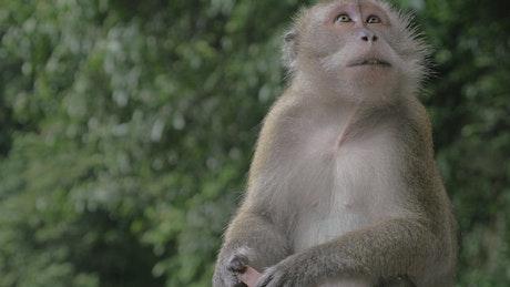 Monkey eaten candy taken from tourists
