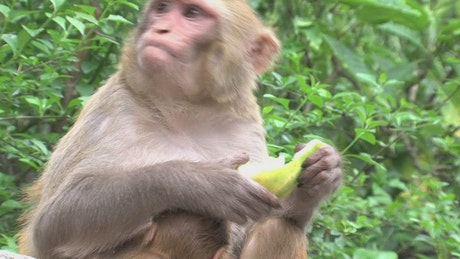 Monkey eating fruit in the wild