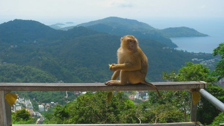 Monkey eating in the top of the hill