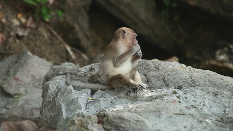 Monkey eating in the wild