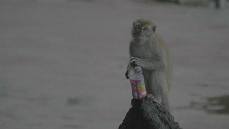 Monkey holding a plastic bottle in the rain