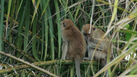 Monkeys grooming in the wild