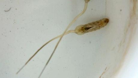 Mosquito larva on water